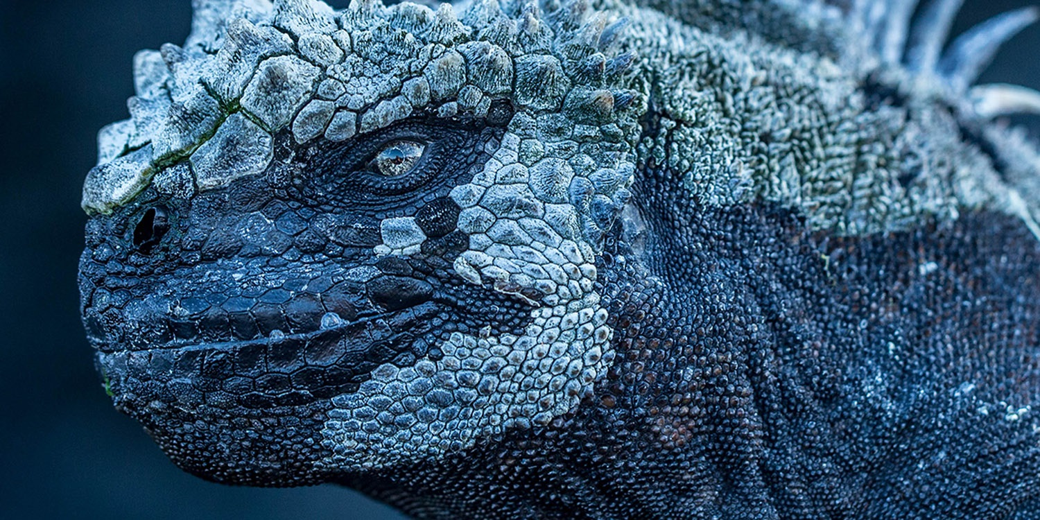 Marine Iguana_Mission Galapagos (C) Atlantic Productions Ltd (1)